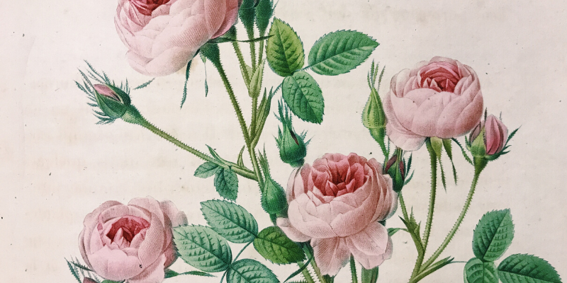 A detailed illustration of a pink double rose.